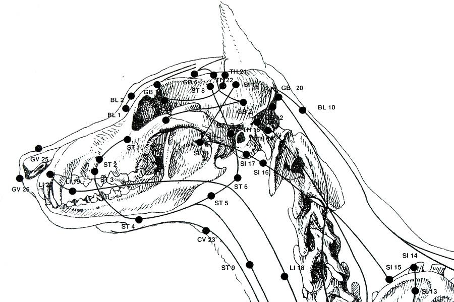 agopuntura-cane-gatto-veterinaria-modena